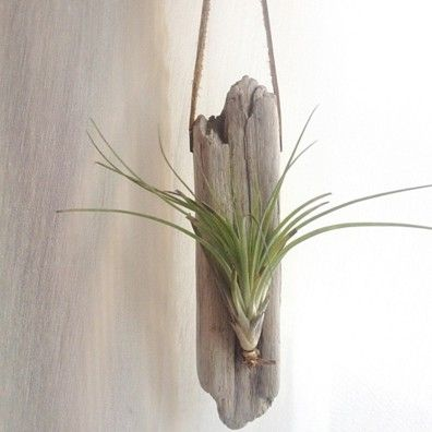 17 best images about awesome air plants on pinterest for Air plant art