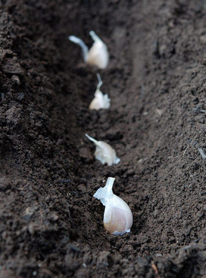 Knoblauch selbst anpflanzen • Pflanzen Tipps & Tricks • 99Roots.com
