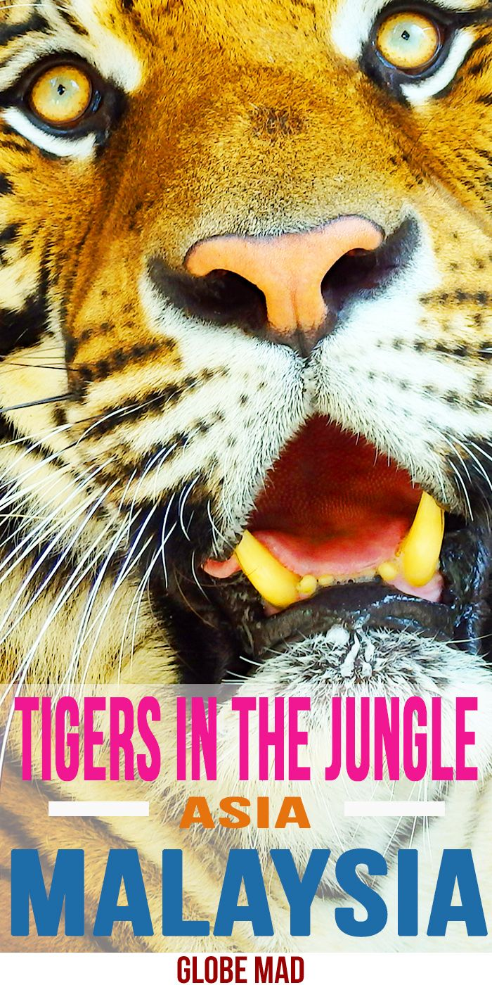 Tigers In Tamen Negara National Park. Ideas for travelling Malaysia. Backpackers and Travellers guides, tips and inspiration by Globemad Blog