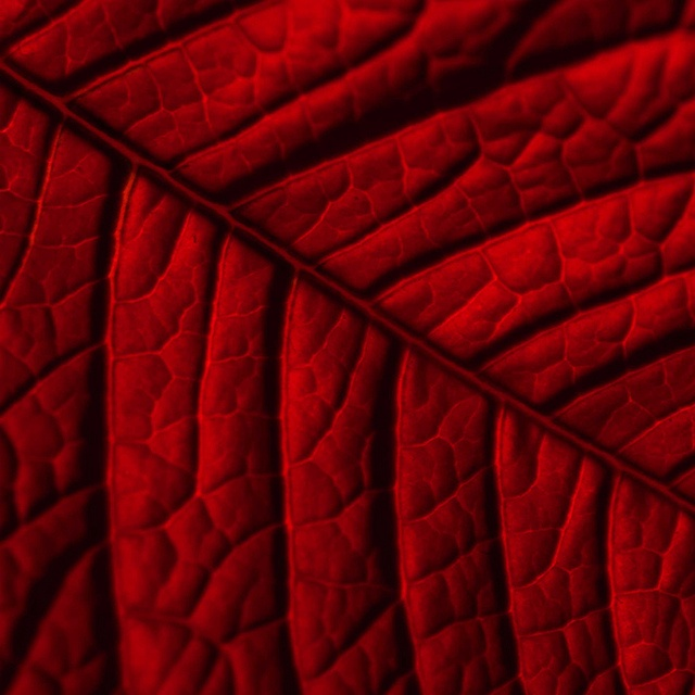 <3Red Leaf, Leaf Close, Leaf Pattern, Leaves Interesting Texture, Glorious Red, Deep Autumn, Dark Red, Perfect Colors, Leaf Photos