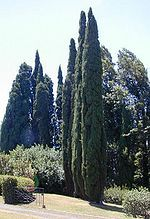 Stricta is narrower than other types Cupressus sempervirens - Wikipedia, the free encyclopedia
