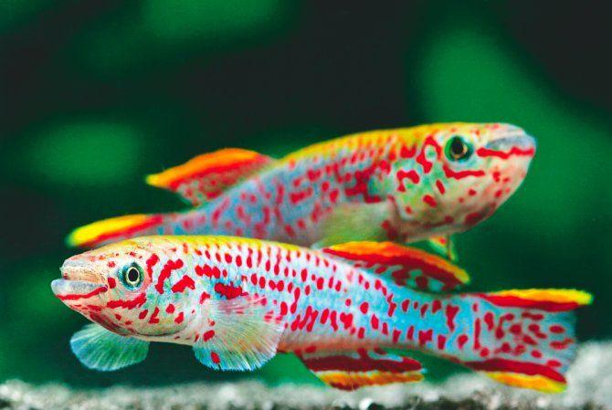 Gardneri Killifish Aquariums And Fish Pinterest Eggs