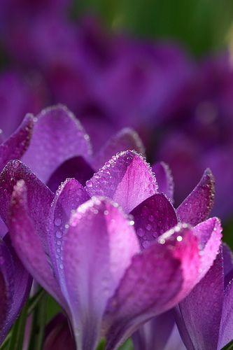 Crocus   Pinterest   Flowers, Gardens and Flower