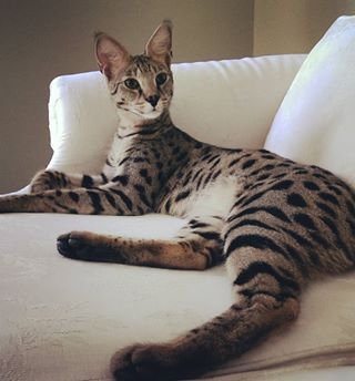 Savannah cats are incredible. | People Have Giant Cats Living In Their Houses And Oh My Goodness