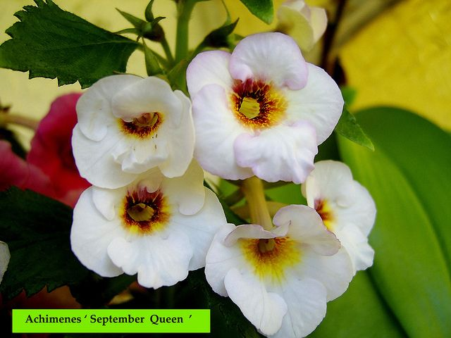 Achimenes ' September Queen' | by Serge Saliba