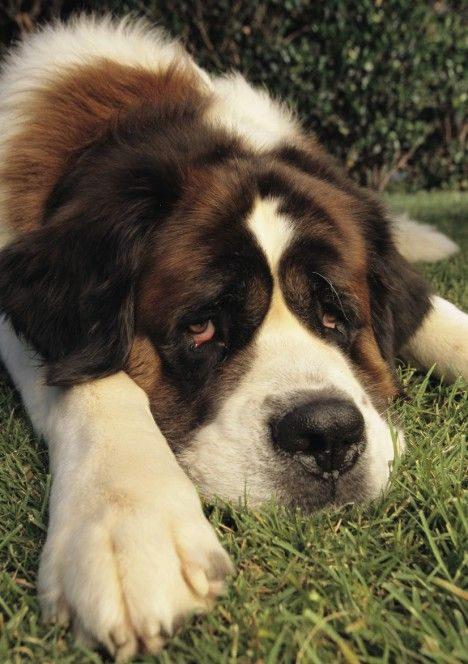 .Aww Pictures, Saint Bernards Dogs, Puppies,  St Bernards, Dreams Dogs, Doggie Stuff, Favorite Dogs, Dogs Pictures, Animal