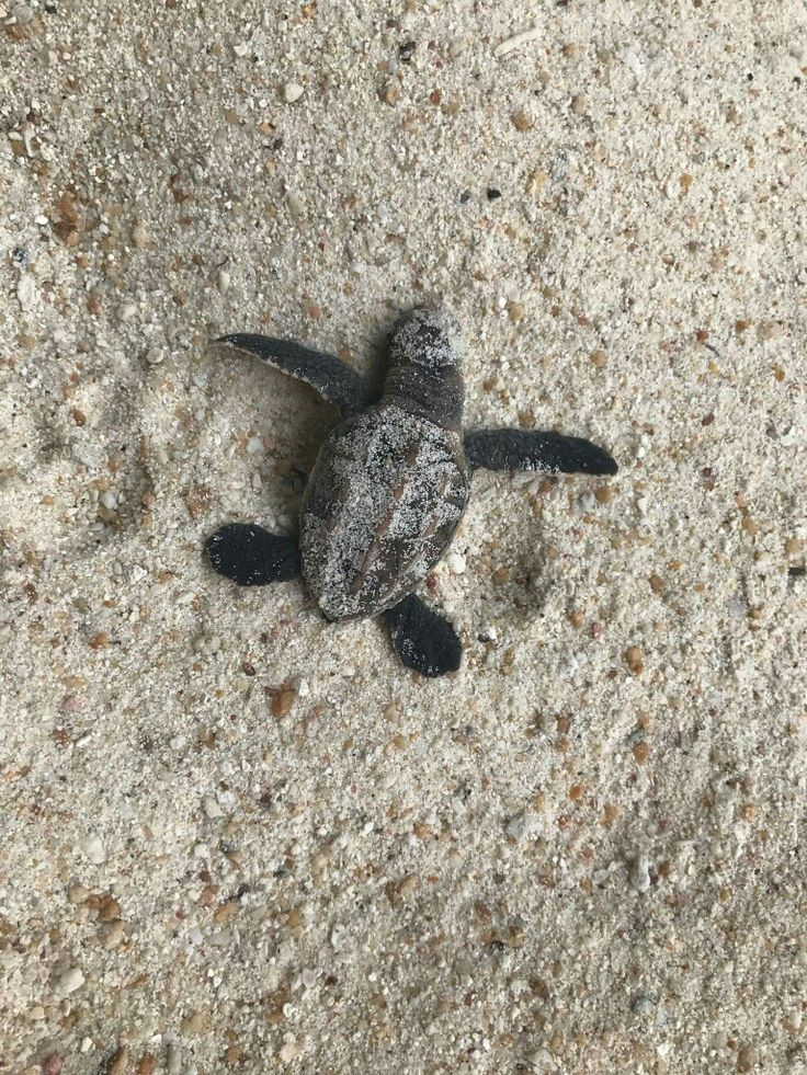 """Permanence, perseverance and persistence in spite of all obstacles, discouragements and impossibilities: It is this, that in all things distinguishes the strong soul from the weak.""   ~ Thomas Carlyle  Image:  Baby Sea Turtle  ♥ lis"