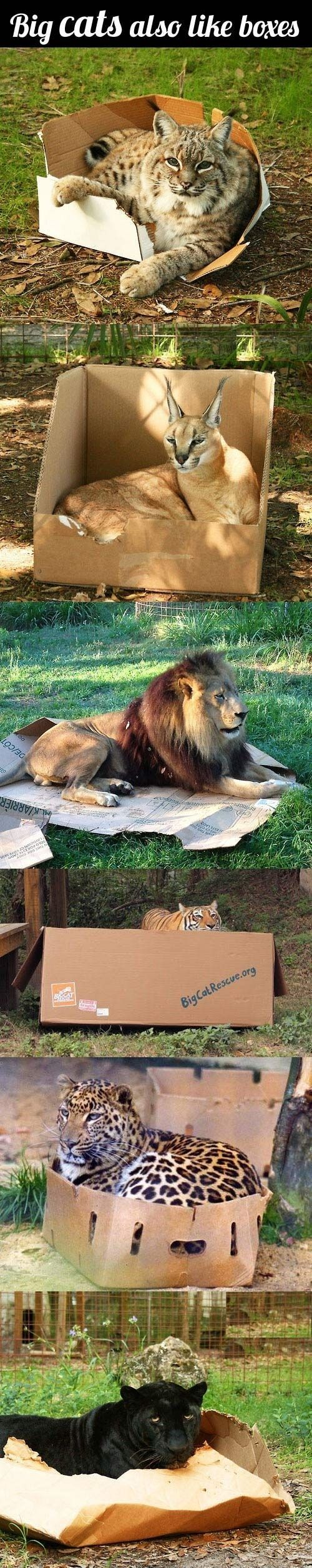 Big cats also like boxes.  It's in the genes.