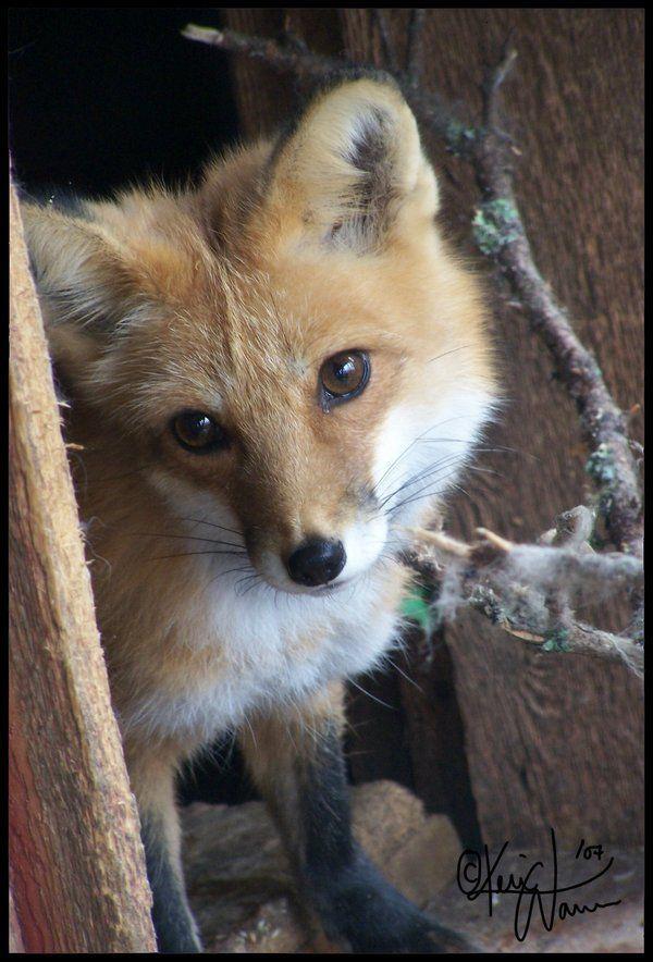 Peeking Fox by Keimoni on deviantART