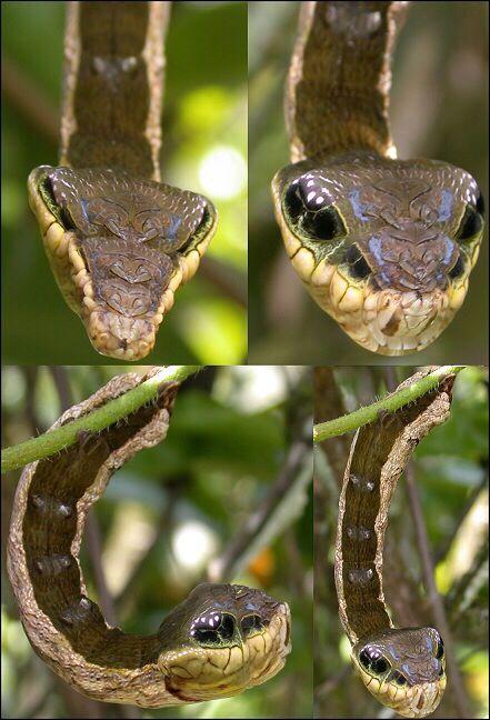La oruga de la polilla halcón posee una extraña imitación de serpiente. | The hawk moth caterpillar's uncanny snake mimic.