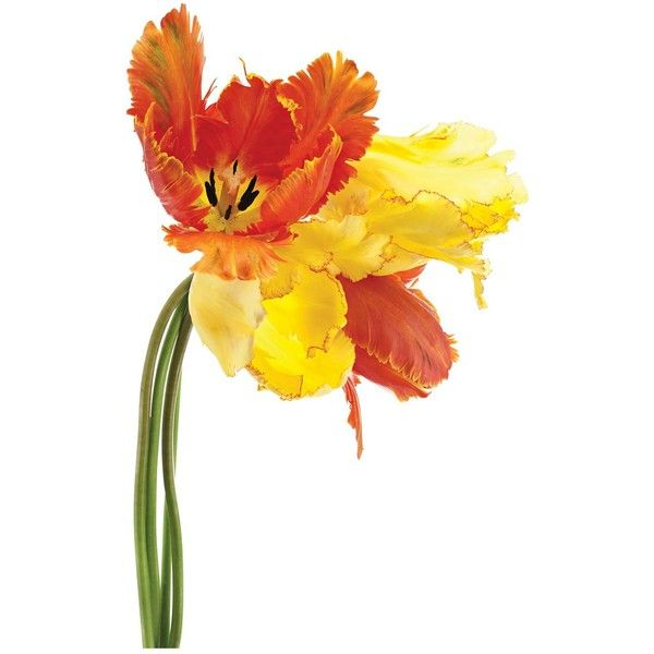 """Universal Lighting and Decor Orange Yellow Parrot Tulip 48"""" Wide Glass... ($300) ❤ liked on Polyvore featuring home, home decor, wall art, flowers, yellow, yellow home accessories, glass wall art, yellow home decor, yellow wall art and flower stems"""