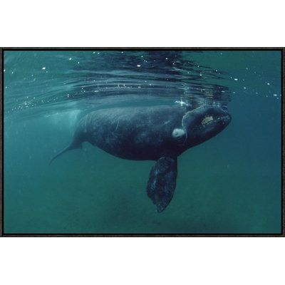 East Urban Home 'Southern Right Whale Juvenile, Underwater, Peninsula Valdez, Argentina' Photographic Print