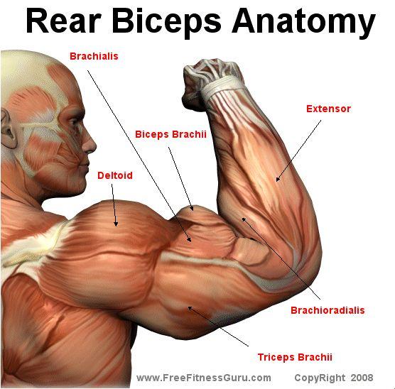 bicep anatomy