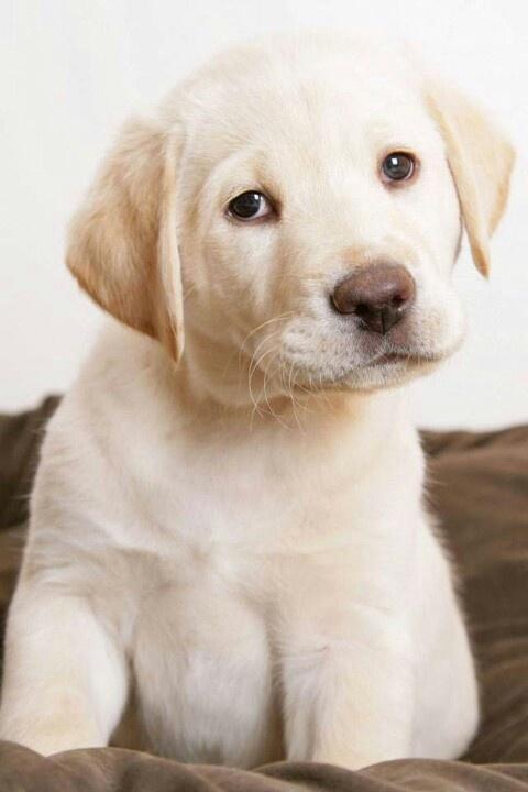 Yellow Labrador Retriever Puppy. Such a sweet gentle face.