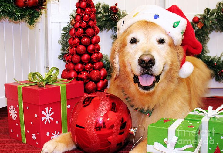 christmas portraits golden retriever by renae laughner