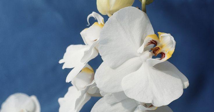 Como germinar naturalmente sementes de Falenopse. Orquídeas falenopses são valorizadas por suas florações abundantes, brancas e coloridas. Cultivadores comerciais frequentemente as reproduzem clonando de algumas partes da planta. Na natureza, flores de falenopse produzem vagens que espalham grande quantidade de pequenas sementes, parecidas com pó, que brotam em circunstâncias adequadas. Você pode ...