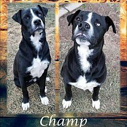 Ringwood, New Jersey - Great Dane. Meet Champ, a for adoption. https://www.adoptapet.com/pet/20424209-ringwood-new-jersey-great-dane-mix