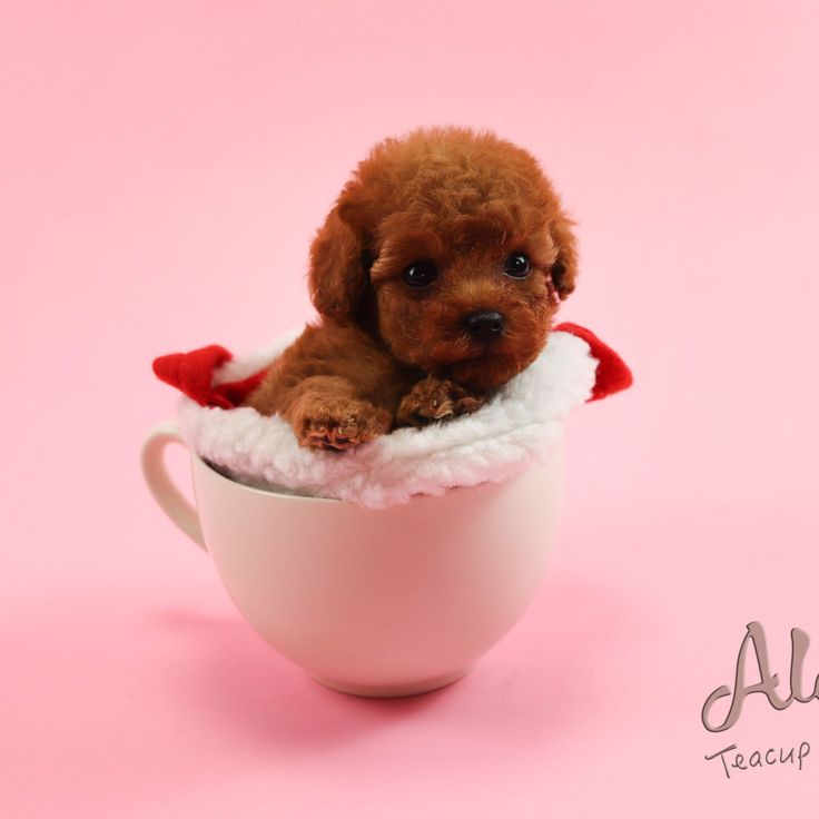 Red Toy Poodle Puppies For Sale Michigan Ideas