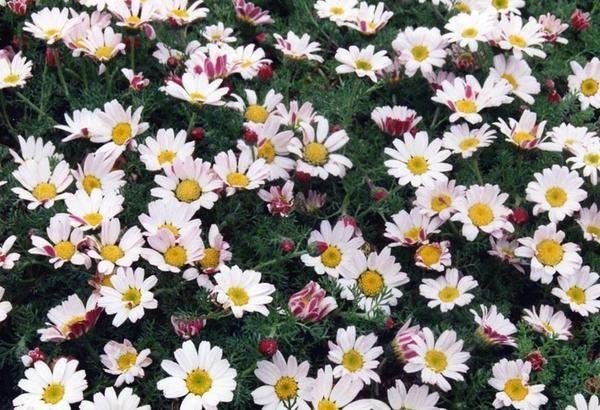 Анациклюс прижатый (Anacyclus depressus) – прекрасное почвопокровное многолетнее растение из семейства Сложноцветные/Астровые. Родом он из Средиземноморья.вечнозеленое растение. Листья напоминают укропные. Соцветия – белые корзинки; распускаются ранней весной.Хорошо растет на солнечных местах с дренированной, сухой, каменистой почвой. С уплотнением земли его пересаживают. Размножают молодыми розетками. Не повреждается голыми слизнями.