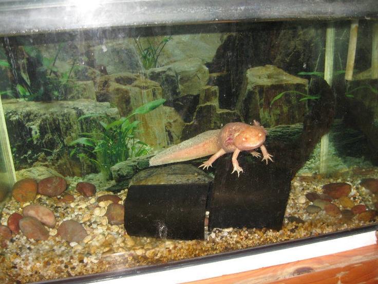 Decoration Aquarium Axolotl : Axolotl tank animal