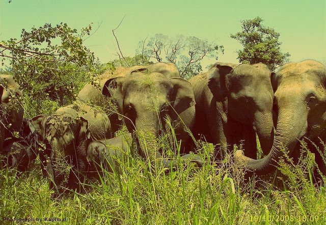 Udawalawe national park - herd of elephant