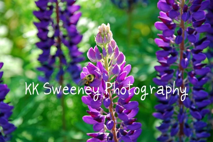 KK Sweeney Photography: Sweeney Photography, Purple I, Purple Lupin, Kk Sweeney