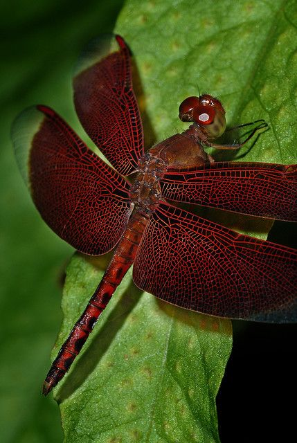 I remember seeing a dragonfly as red as this one in Pagsanjan Falls.. They looked majestic as they fly around us..