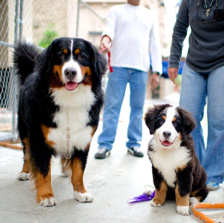 Sonny Jackson and Thunder, Bermese Mountain Dogs.&nbsp