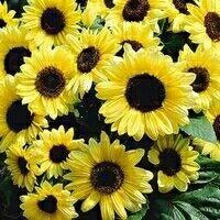 Valentine sunflower 10k wa 085777119992  Tanaman Bunga Matahari yang tegak, kuat, dan bercabang memberikan penampilan seperti semak-semak. Memproduksi banyak bunga matahari yang cantik sebesar 6 inci (1 inci = 2.5 cm) dengan kelopak bunga berwarna lemon muda - kuning dan di bagian tengah dari bunga matahari ini berwarna coklat tua. Valentine sangat bagus untuk bunga potong, Bunganya bertahan lama dan sangat seragam dalam pertumbuhan. Varietas ini akan tumbuh sekitar 4 kaki (1 kaki = 30 cm).