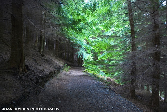 Dodd Wood, Bassenthwaite in the Lake District National Park, Cumbria, England