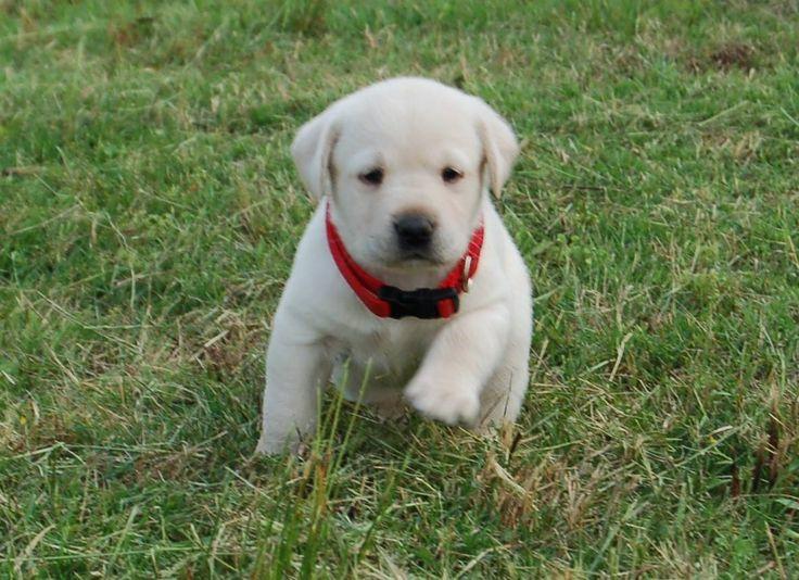 ... Labrador Retriever Puppies for Sale - Labrador Puppies for Sale