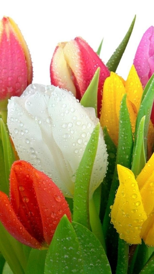 water drops & tulips