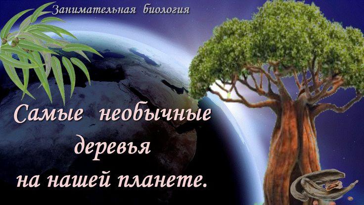 Необычные деревья нашей планеты.