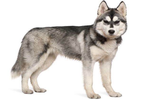 No one can call the Siberian Husky lazy. Boasting a working class background, the Siberian belongs to a class of dogs called a Spitz. With its strong, muscular yet compact body, this breed does more than pull its weight when it comes to dog sleds. Perhaps the most distinguishing feature of the Siberian Husky is [...]