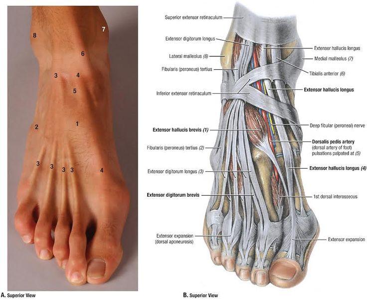 18 Best Human Anatomy Feet Images On Pinterest Human Anatomy