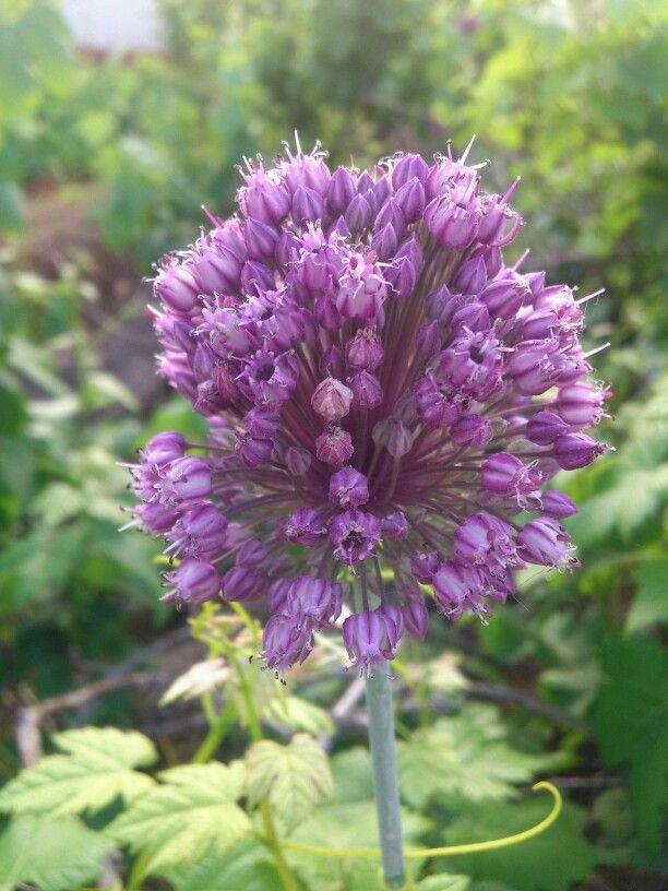 Puro violeta