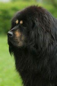 Beautiful Tibetan Mastiff Dog