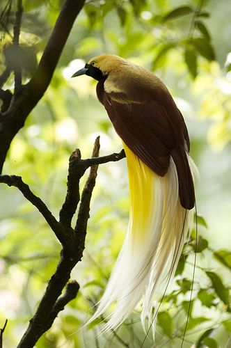 Types of Bird of Paradise | Cendrawasih (Birds of Paradise) ~ Indonesian Culture and Tradition