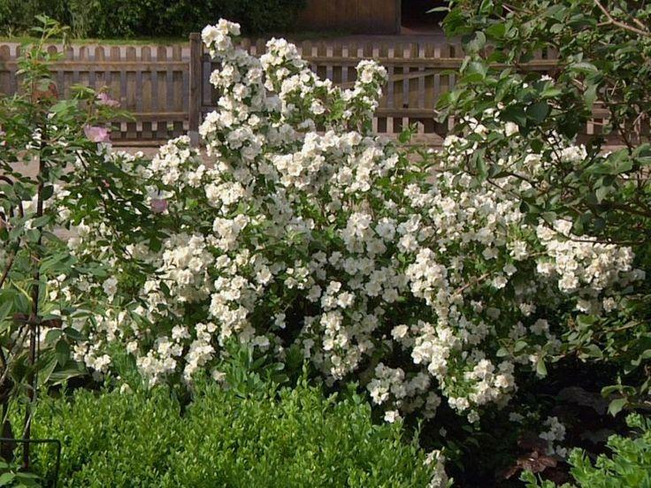die besten 17 ideen zu jasmin pflanze auf pinterest | blumen, Garten und Bauen