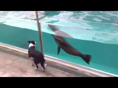 Hund+Sjøløve=Sant (Dog+Sea Lion=True). Border Collie Vilde meets Sea Lion Amy: Bergen, Norway. Vilde has a very strong herding instinct, says Frits Martem, dog owner/zookeeper @ Bergen Aquarium. Lots to see for Vilde ~ crocodiles, seals, penguins… But when they approach the pool where the sea lions live, her body really comes alive. Amy (2 years old & considered young) is very playful & active. This is a meeting between two excited animals with much benefit, jokes aquarium director Kees…