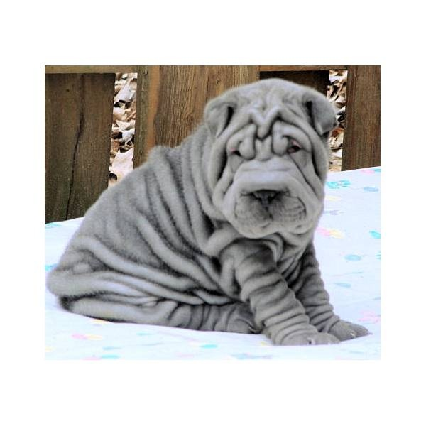 Shar Pei... Makes me think of Cody Woodall. He had a Shar Pei