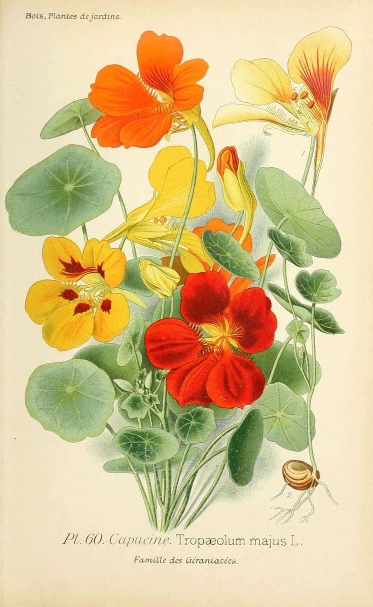 img/dessins plantes et fleurs jardins et appartements/dessin de fleur de jardin 0123 capucine - tropaeolum majus.jpg