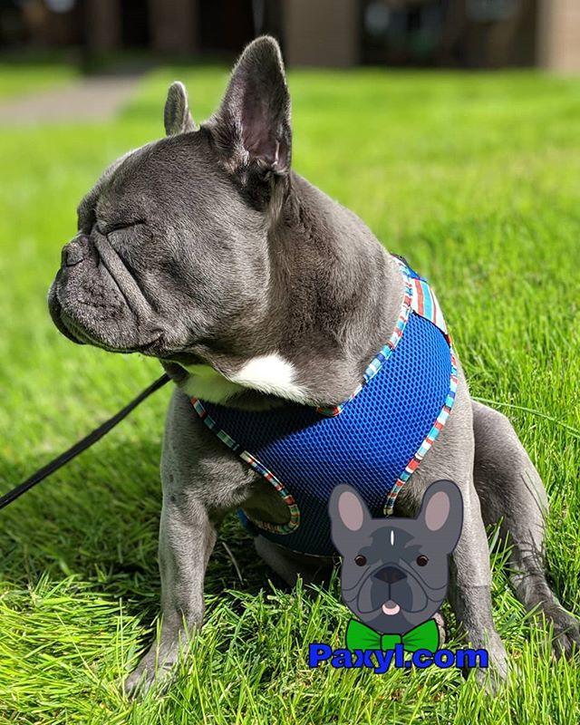 Nothing To See Here Frenchiesofinstagram Frenchie Frogdog Puppy Optoutside Pdx Oregon French Bulldog Blue Frogdog Puppies