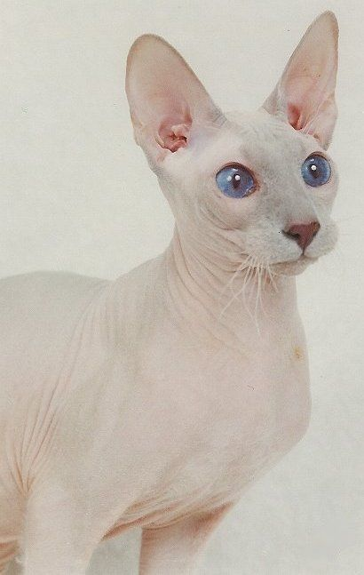 peterbald Cats | the peterbald is a cat breed which originated in russia peterbalds ...