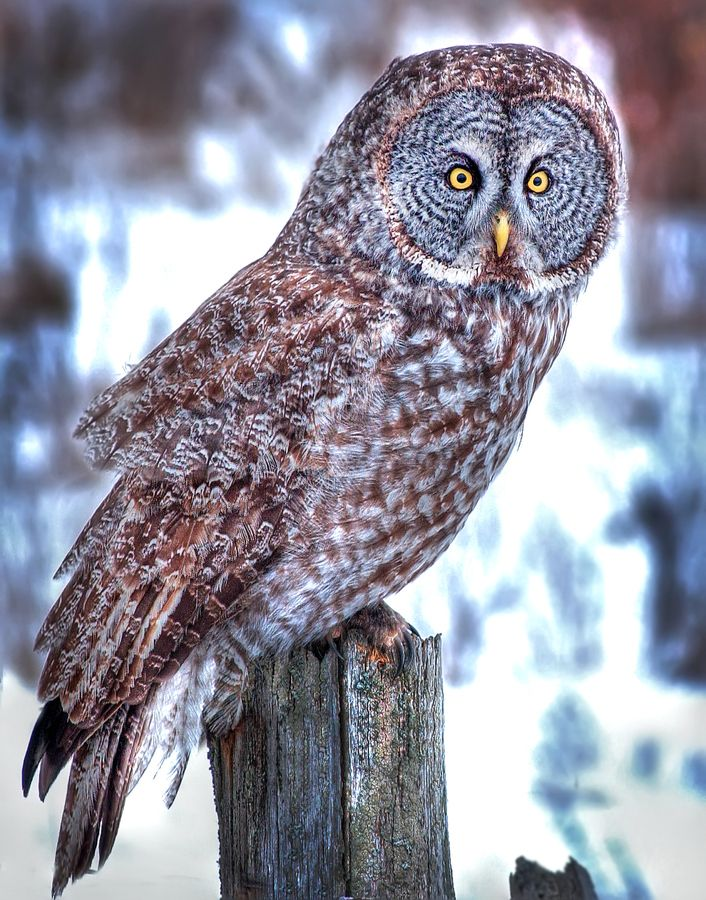 Great Gray Owl, Ontario