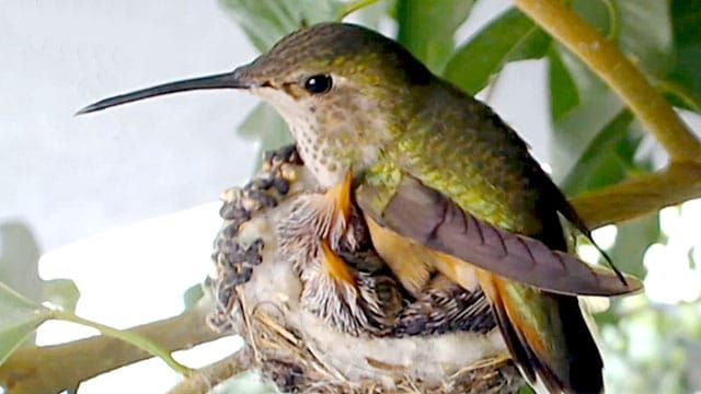 Get up close and personal to baby hummingbirds with the live hummingbird cam! Little Bella the hummingbird has been nesting in the ficus branches since 2005.