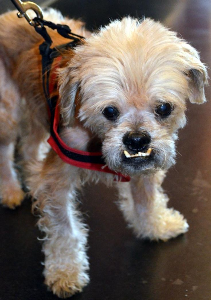 shih tzu heart murmur 1000 images about missouri adopt foster sponsor me on 4923