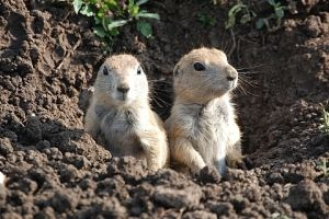 Prairie Dog pups, Wichita Mountains Wildlife Refuge near Lawton