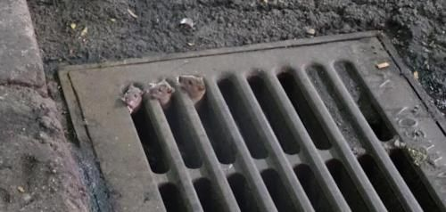 City rats remain under-studied, researchers complain: Rats destroy property, taint food, start fires and spread disease. But researchers…