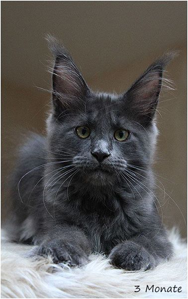 Maine Coon, blue smoke (as). Foxhilltigers Milky way